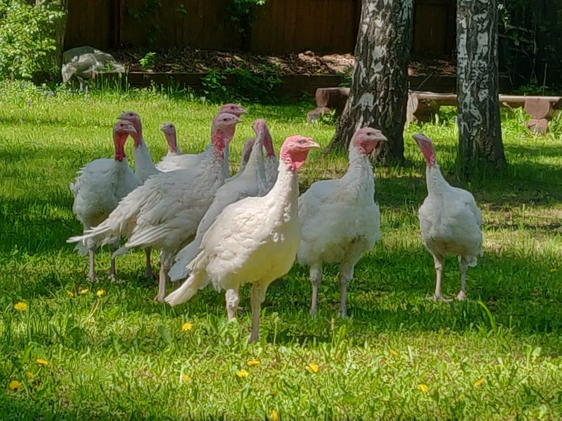Индюшата возраст 2,5 месяца- вес на 15 мая 5,5 кг. Осенью мальчики будут под 20 КГ.